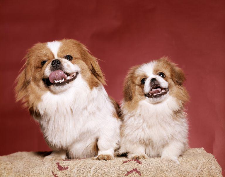 Two Pekinese dogs