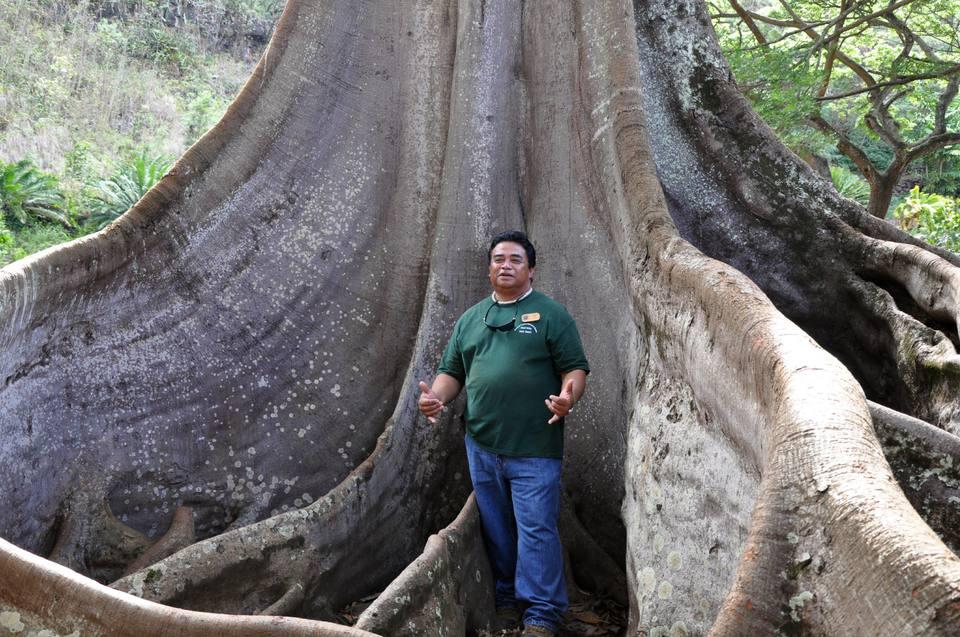 Moreton Bay Fig Tree, Allerton Garden, Kauai
