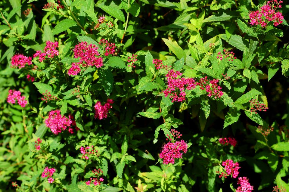 Neon Flash spirea (image) has flashy flowers. The foliage offers little interest.