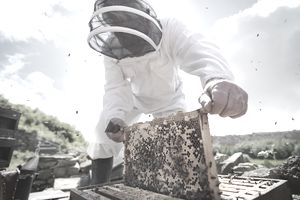 Beekeeper inspects bee hive