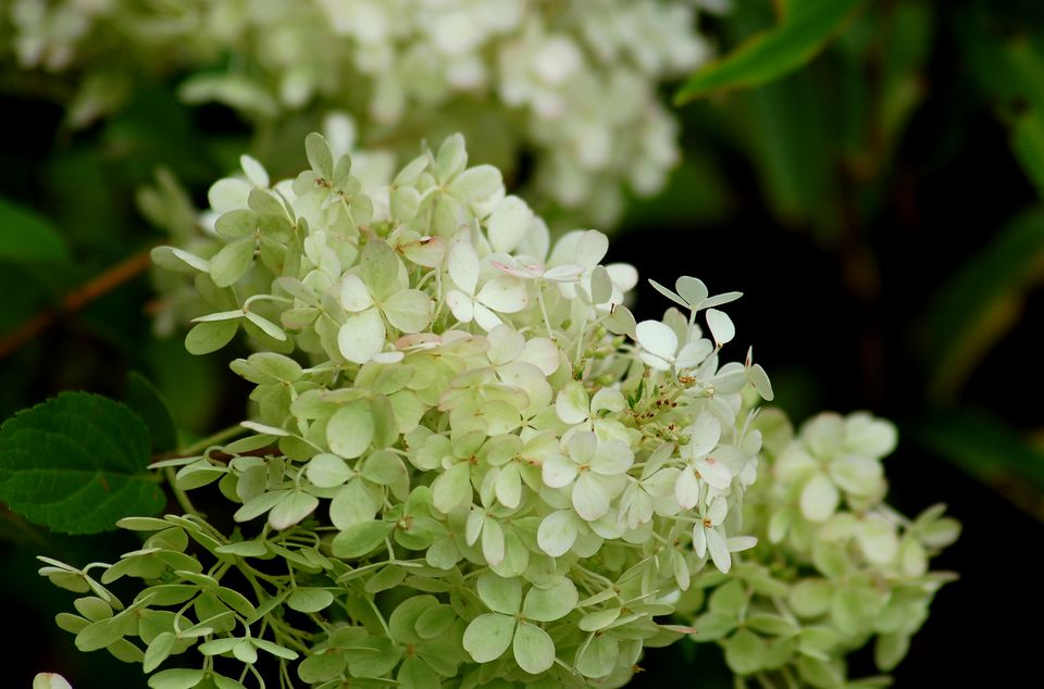 Bobo hydrangea (image) picks up a tinge of pink in August. The blooms are mainly white.