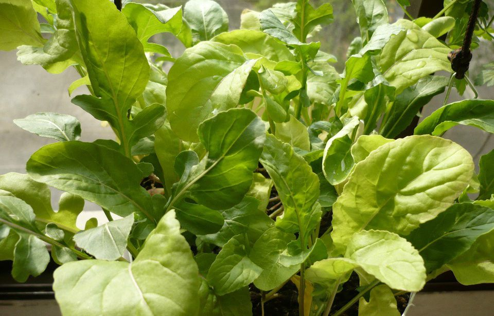 Arugula growing in a small window planter for quick and delicious edibles.