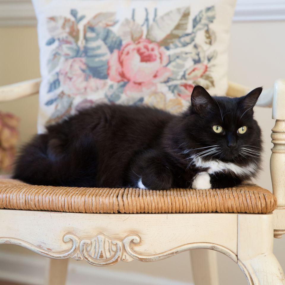 Photo of Tuxedo Cat on Chair