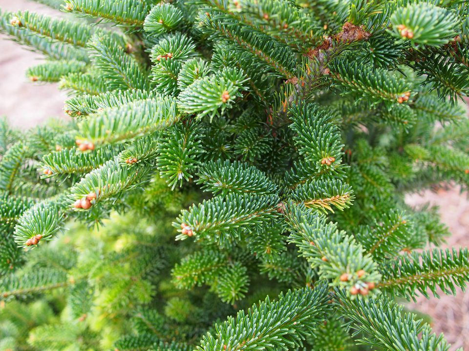 Fraser Fir Photos