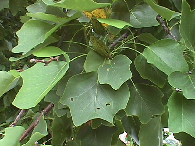 Yellow poplar