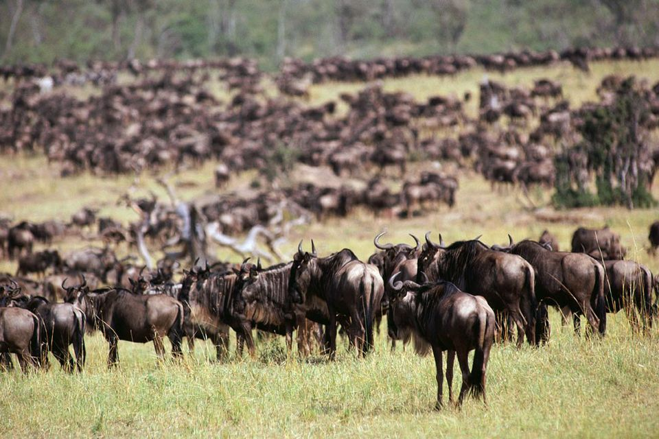 Wildebeest Herds gathering for annual migration, Serengeti, Tanzania
