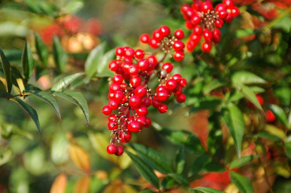 Nandina domestica shrub with red berries.
