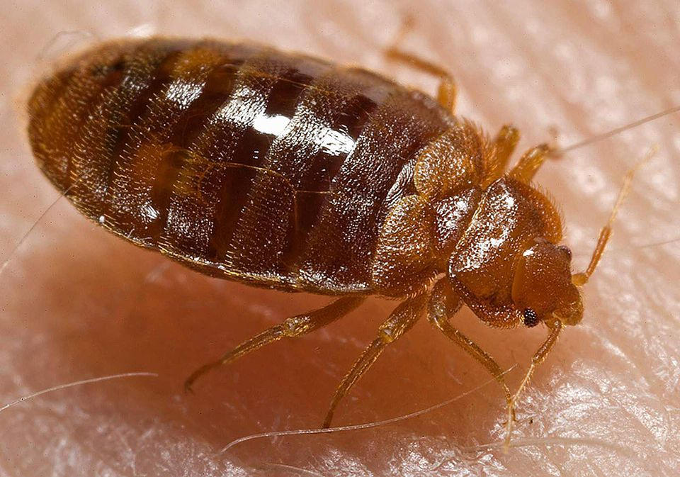 A bed bug on skin