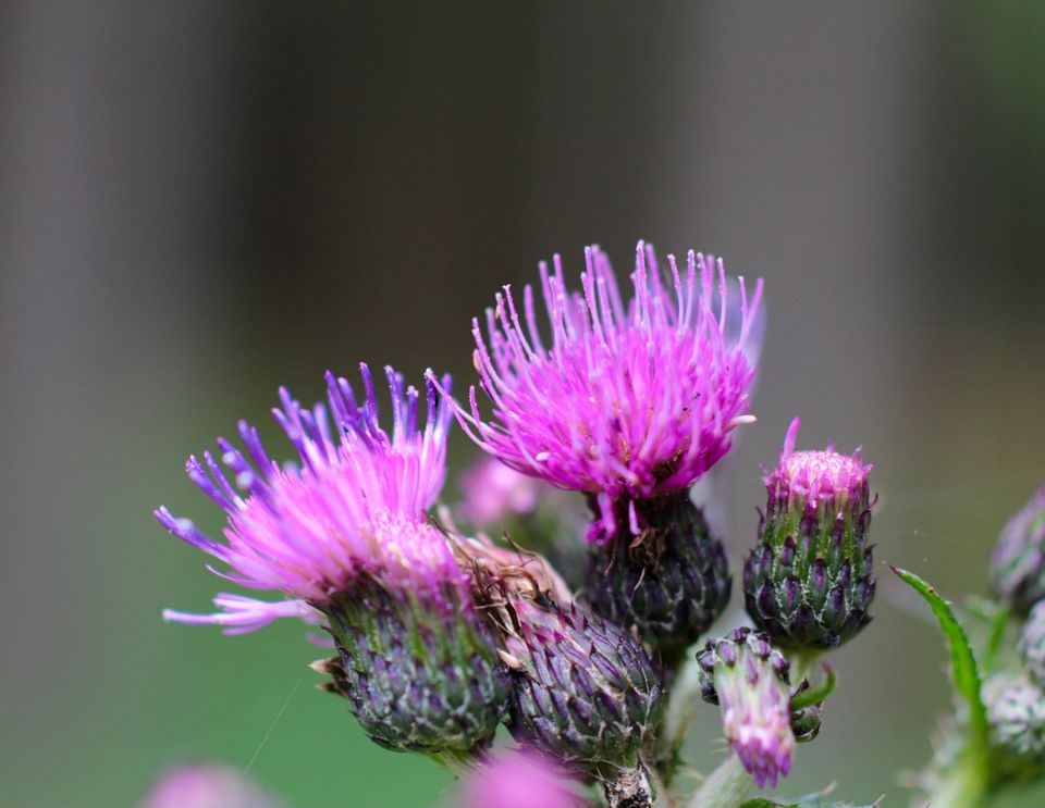 Close-Up Of Thistles Blooming Outdoors