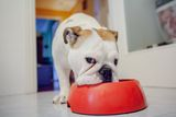 dog eating from his bowl.indoor