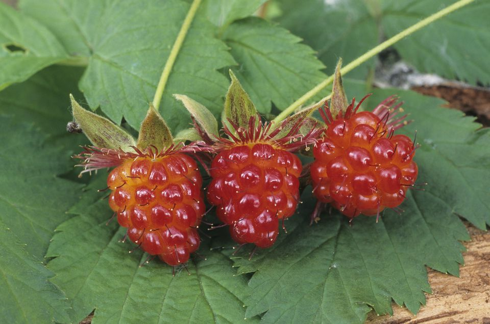 Fresh Salmonberries on the Vine