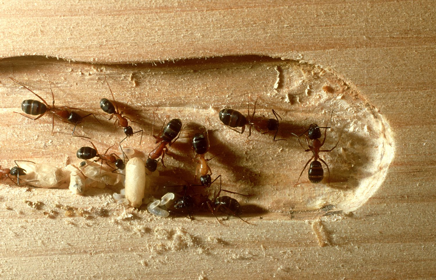 Habits And Traits Of Carpenter Ants