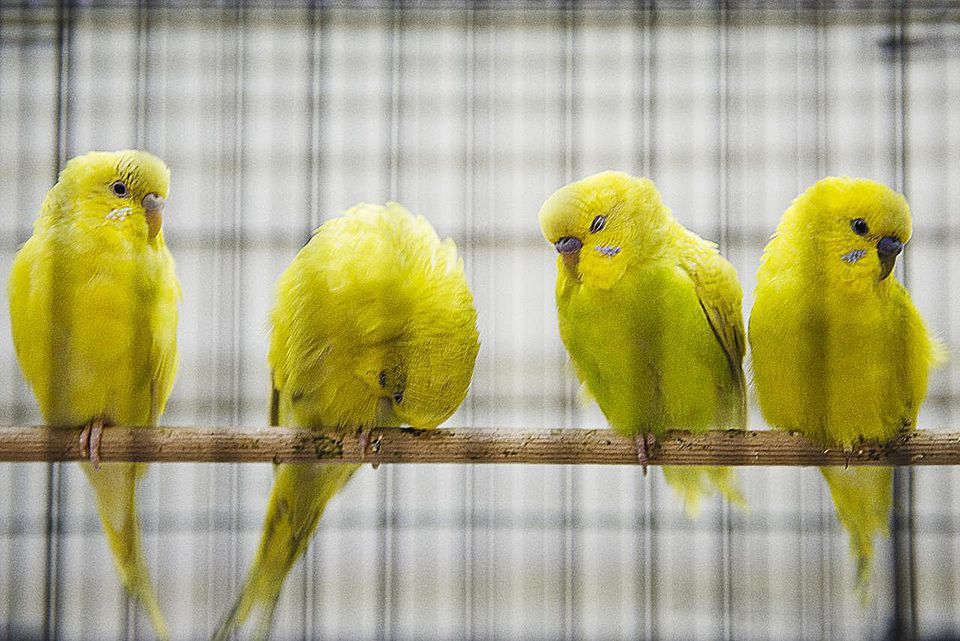 Yellow Parakeet Birds in a Cage