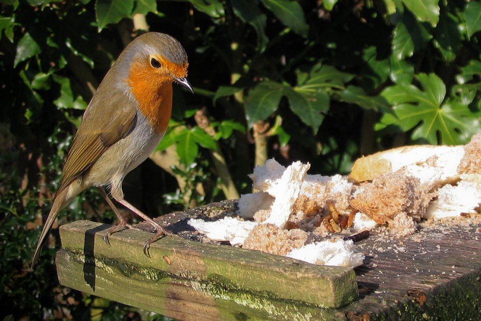 European Robin Eating Bread