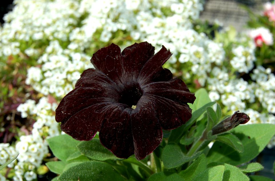 The flower on this petunia (image) is about as black as a flower can be.