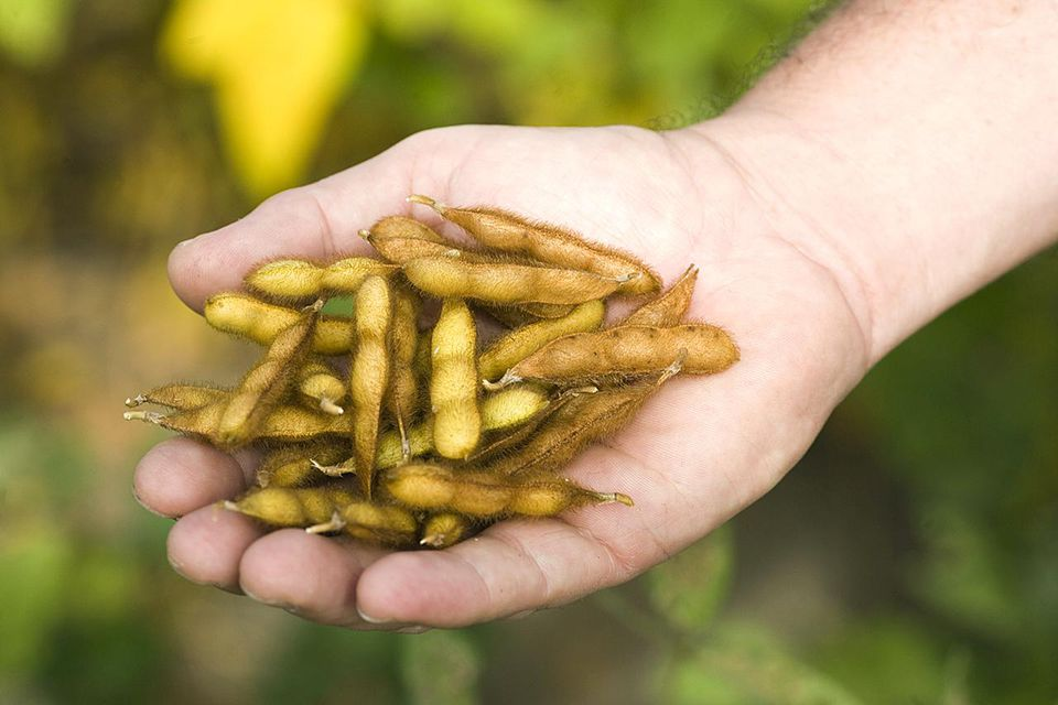 Man holding dry soya beans on one hand