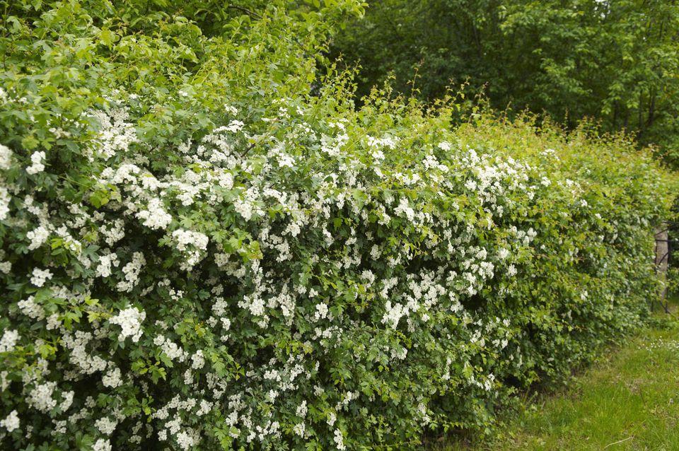 Hedge of hawthorn (Crataegus laevigata)