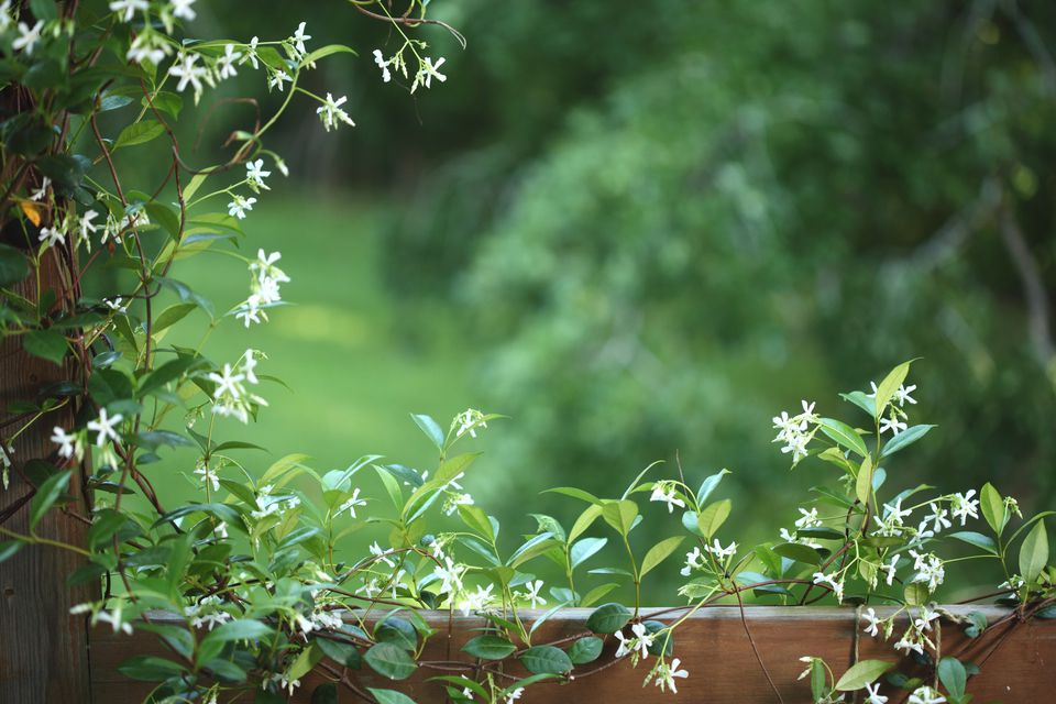 Confederate jasmine vine blooming along a fence.