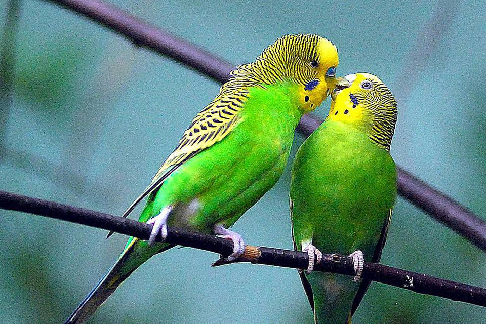 courtship of kissing Budgerigars