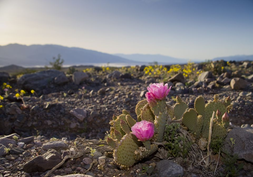 Prickly Pear Cactus Blooms Over Death Valley National Park