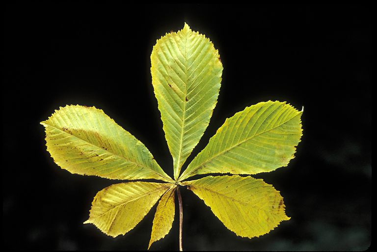 PALMATELY COMPOUND LEAF OF HORSE CHESTNUT, AESCULUS HIPPOCASTANUM IN AUTUMN, MICHIGAN, USA A SHADE AND STREET TREE IN RICH MOIST SOILS.