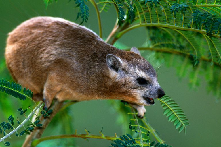 Hyraxes are a group of mammals that include four living species.