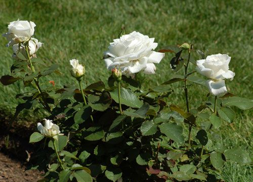 Picture of white roses. These white roses are named for Pope John-Paul II.