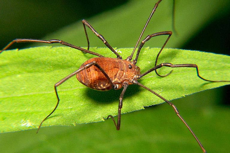 Harvestmen, also referred to as daddy-long-legs, are a group of arachnids known for their long, delicate legs and their oval body.