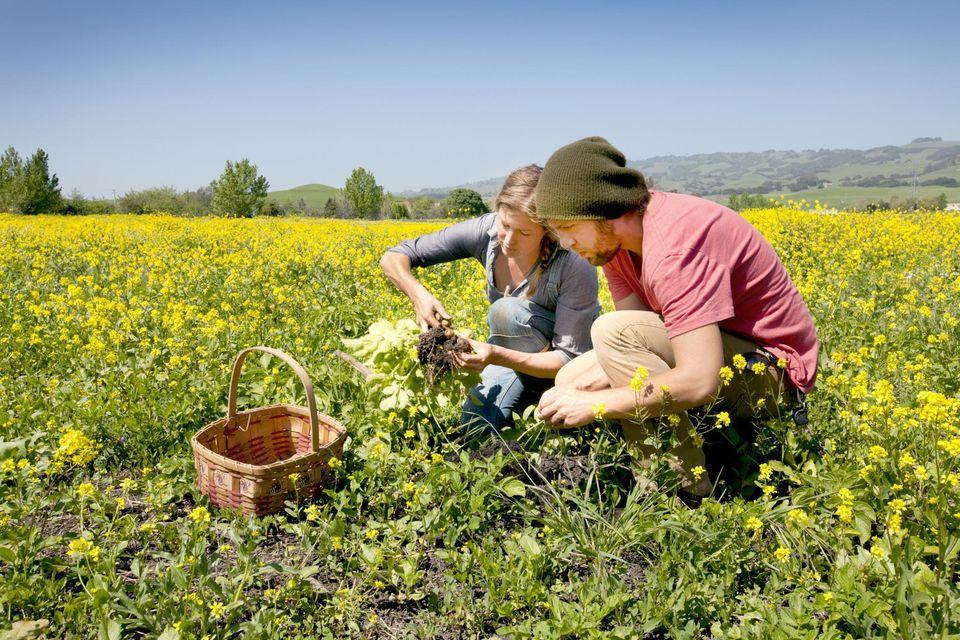 Farm workers harvesting potatoes on farm