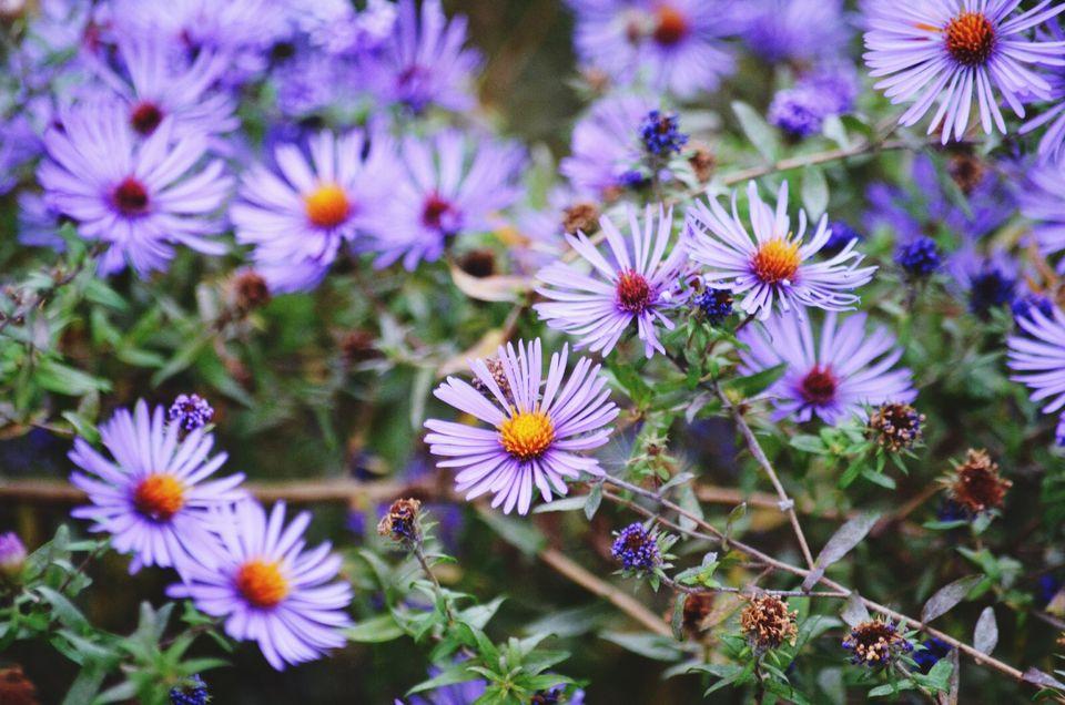 Asters in Bloom