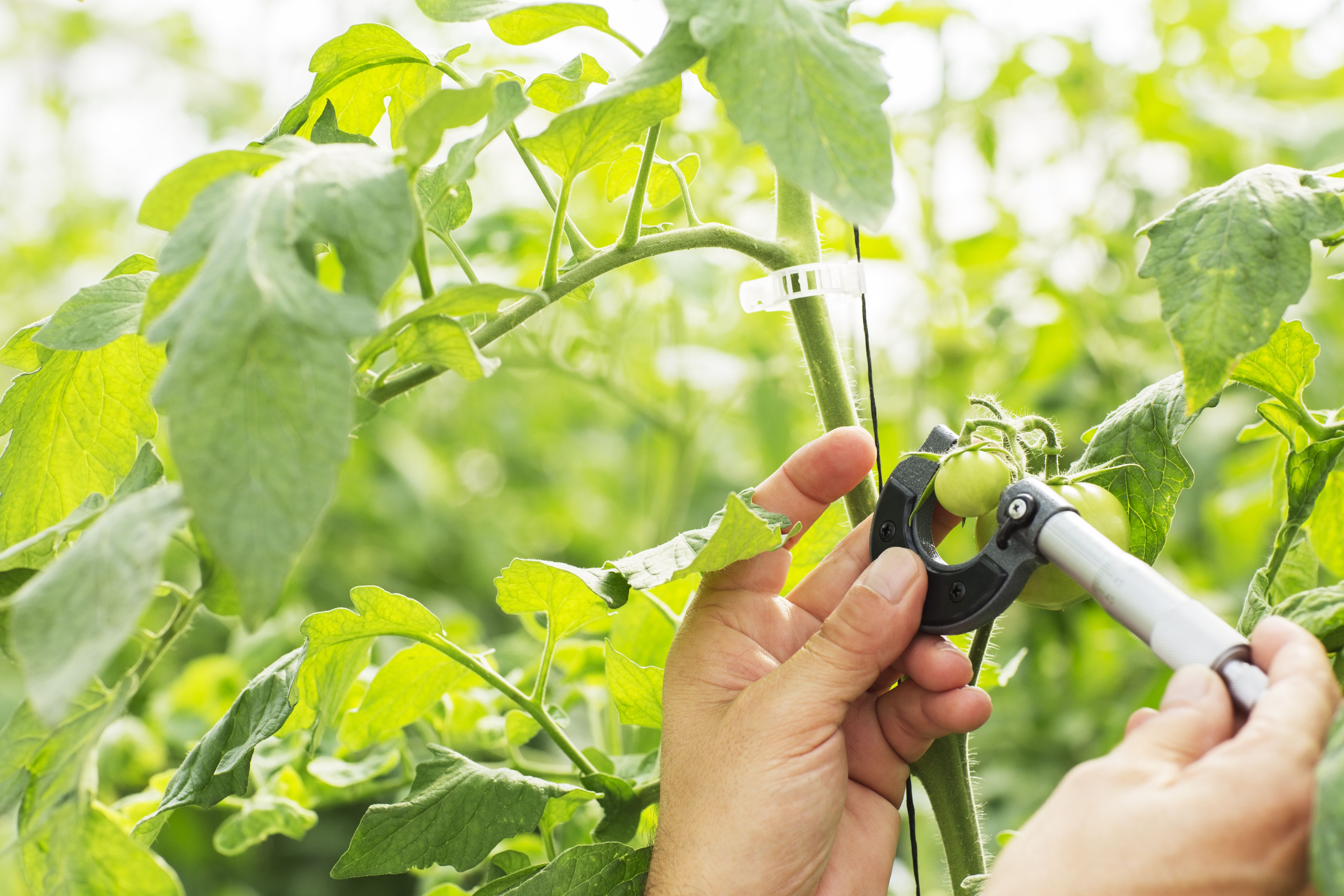 Tips For Growing Tomatoes In Containers In Hot Climates