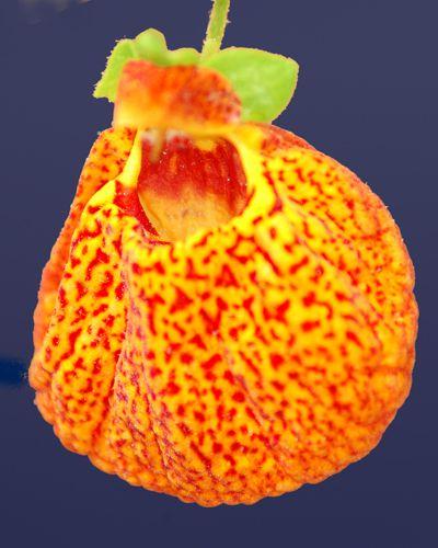 Picture of calceolaria.