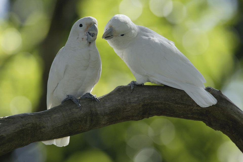 Goffin's Cockatoos