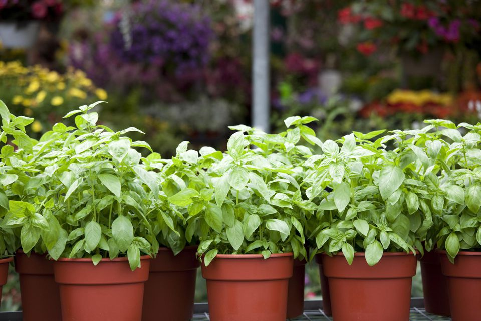 Garden Center Plant Nursery with Fresh Spring Flowers and Basil