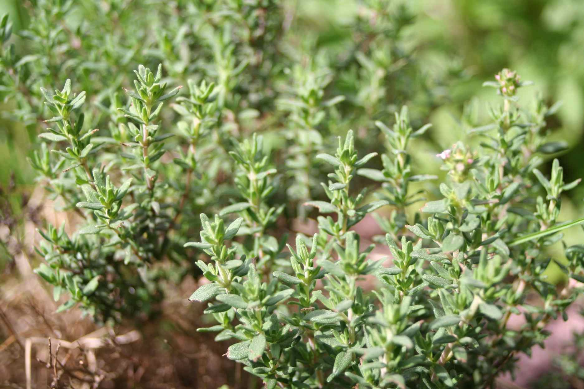 10 Best Herbs for a Drought Garden