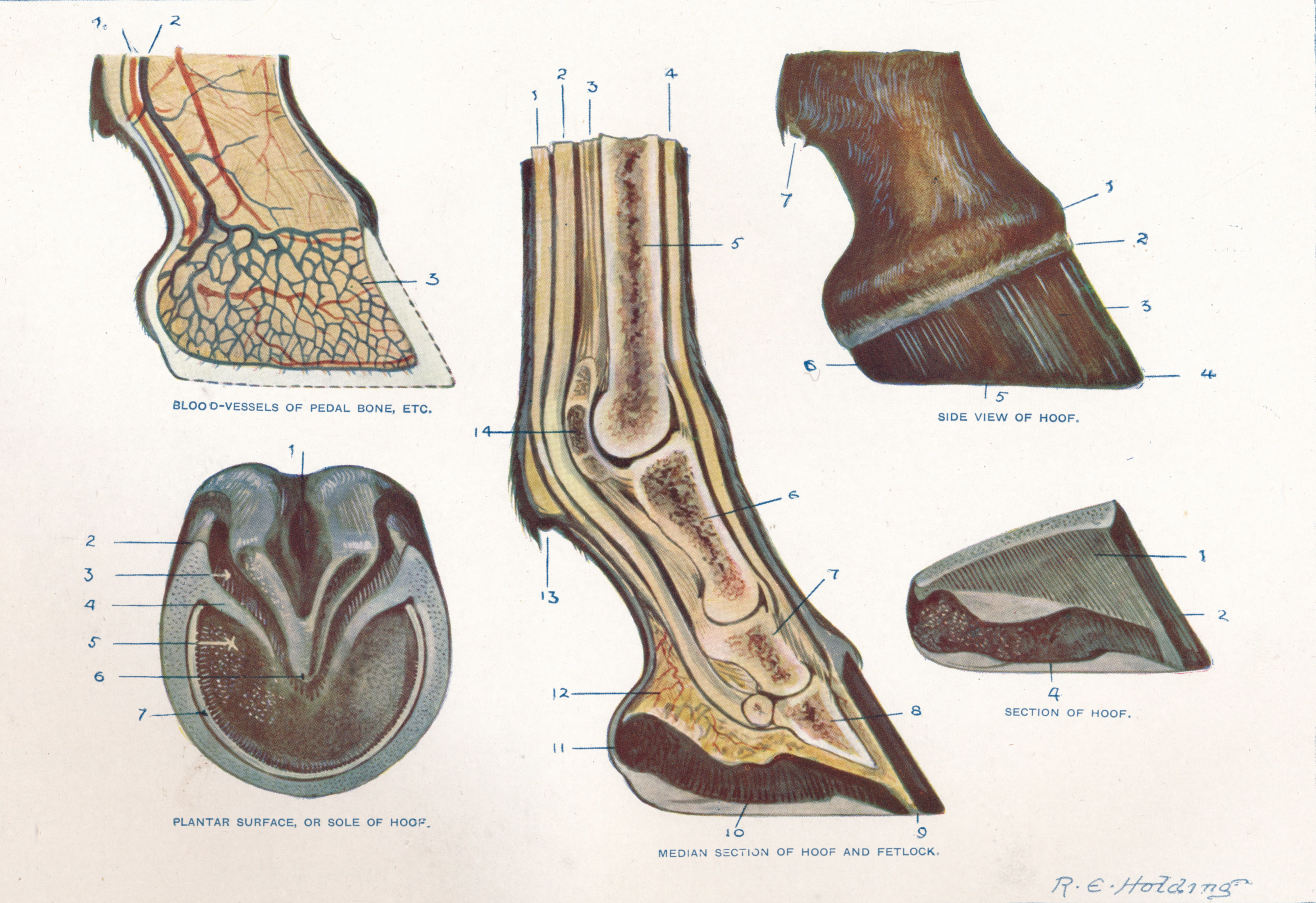 Learn About Laminitis Or Founder