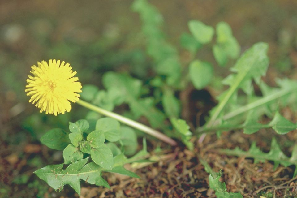 Flower, yellow, dandelion, plant, blossom, weed
