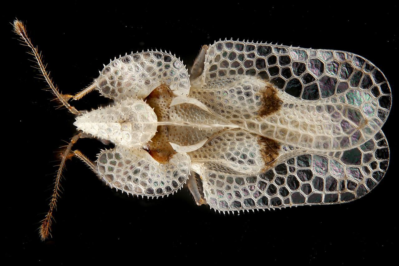 How To Control Lace Bugs In The Flower Garden
