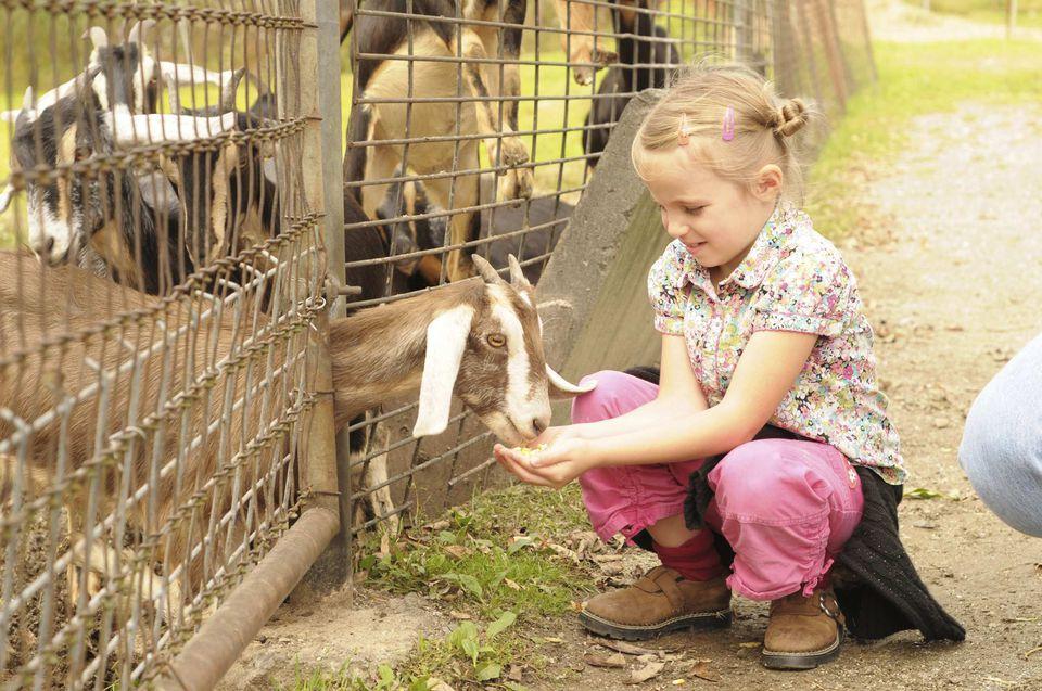A picture of a preschooler feeding a goat.