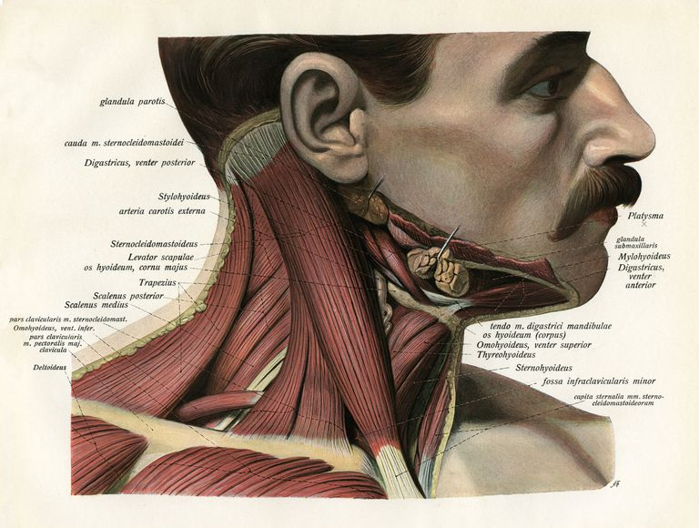 Lateral View Of Neck Muscles