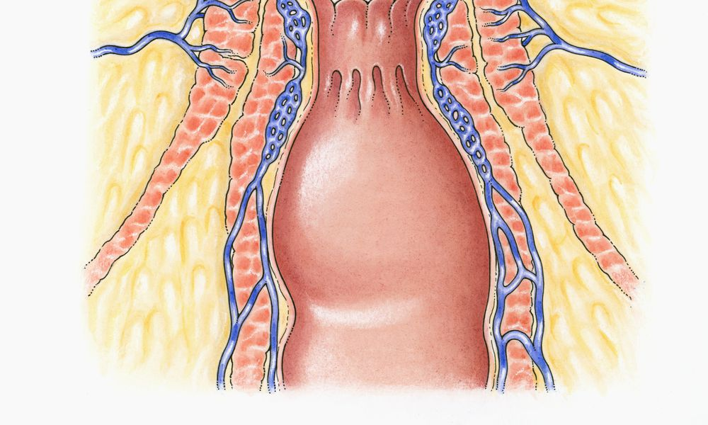 Cross section illustration of human anal column showing external and internal sphincters, and blood supply