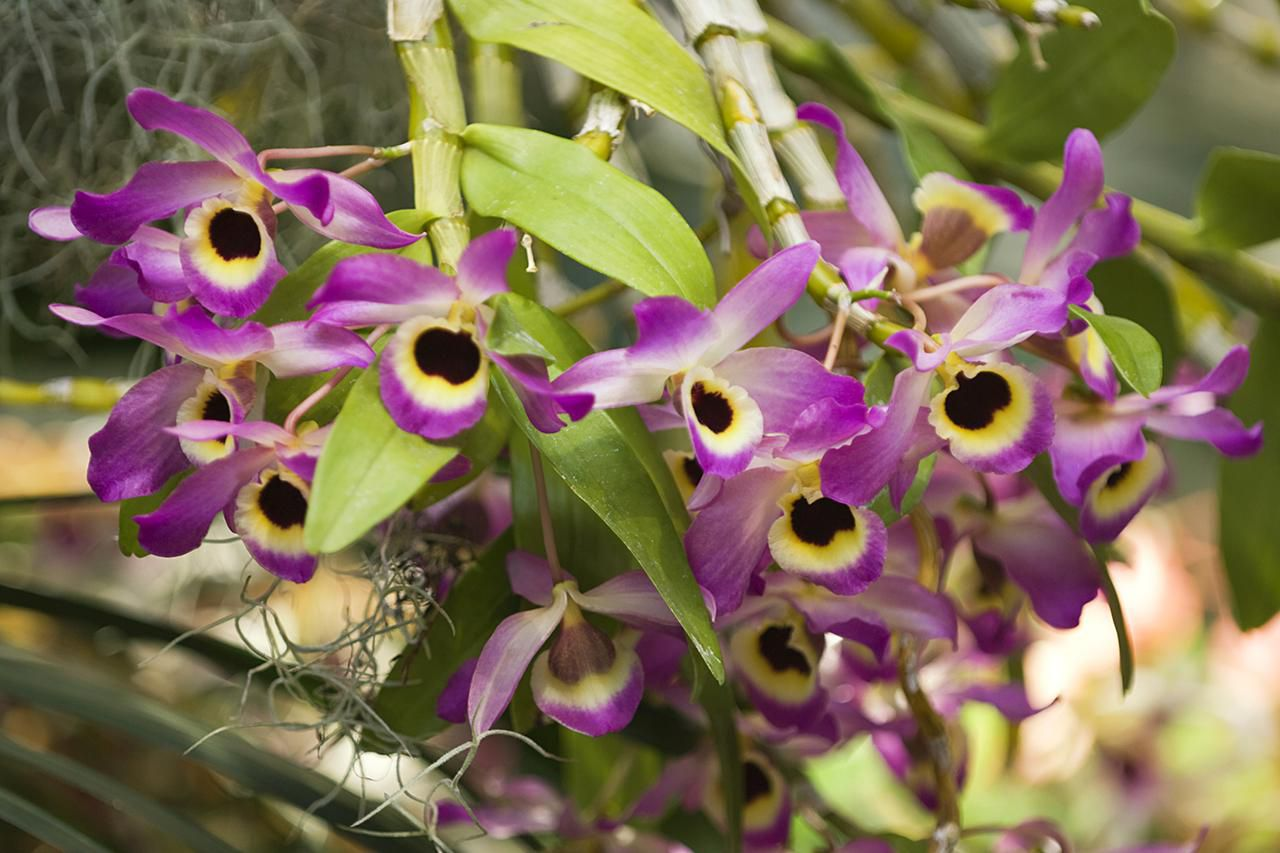 Dendrobium Orchid: Growing Dendrobium Orchids And Cane