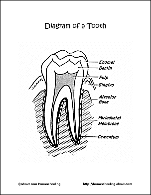 Dental health word search printables diagram of a tooth coloring page ccuart Choice Image