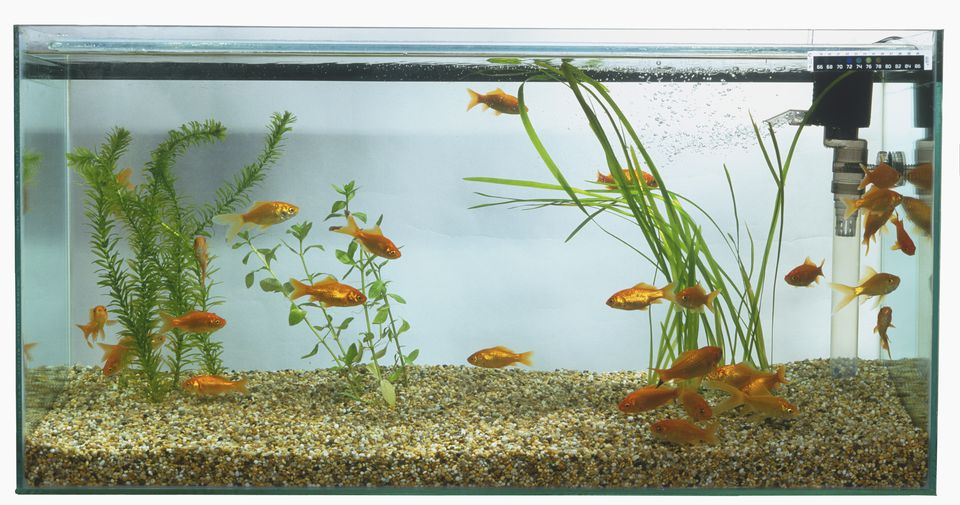 Goldfish (Carassius auratus) swimming in large rectangular fish tank.