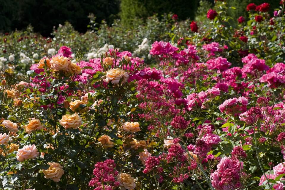 Gene Boerner and Betty Prior Floribunda Roses