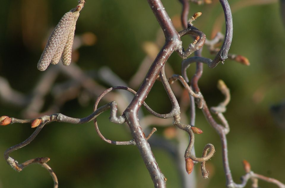 Closeup of twisting branches of contorted filbert shrub.