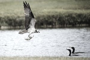An osprey flies with a fish on the Copperhead course during the final round of the Valspar Championship at Innisbrook Resort and Golf Club on March 16, 2014 in Palm Harbor, Florida