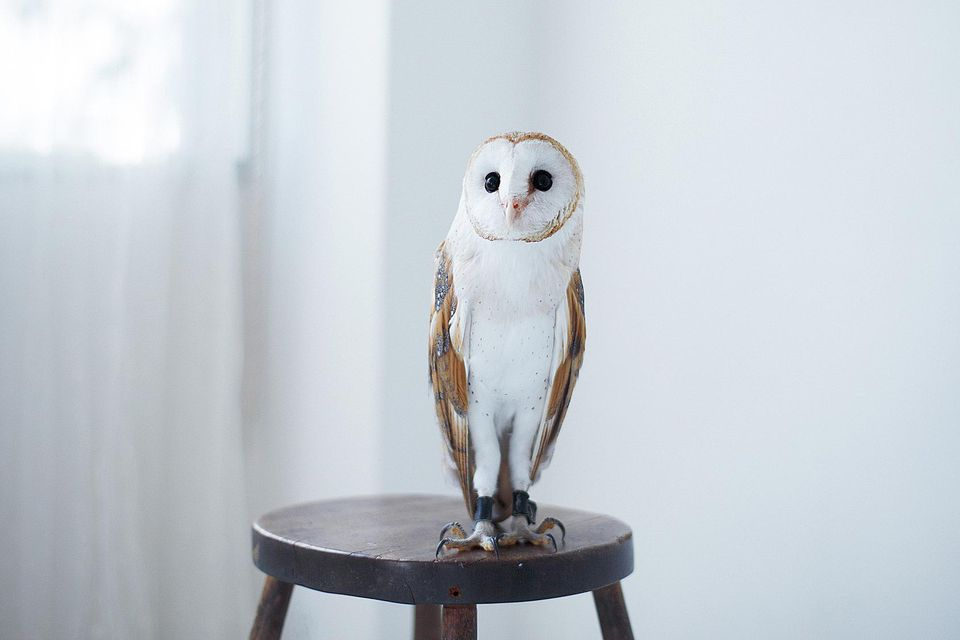 Owl perched on stool