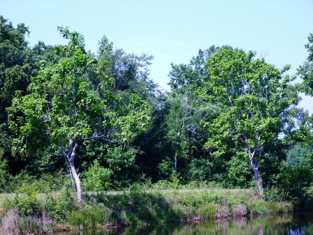 catalpa trees on lake dam