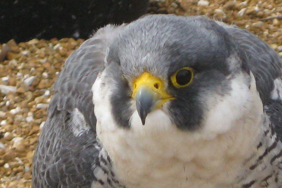 wbs falcon